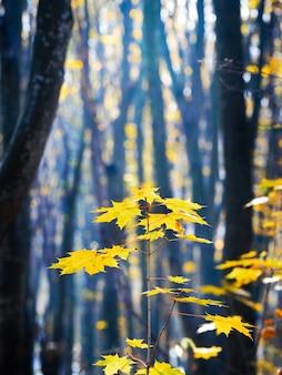 Кленовая ветка с желтыми листьями в осеннем лесу в солнечный день