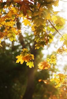 黄色と緑の葉を持つカエデの枝。太陽の下で木々に黄葉が咲く秋の都市公園、日