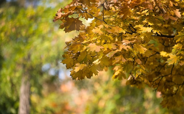 Maple branches with yellow leaves, autumn city park with yellowed leaves on the trees in the sun, day