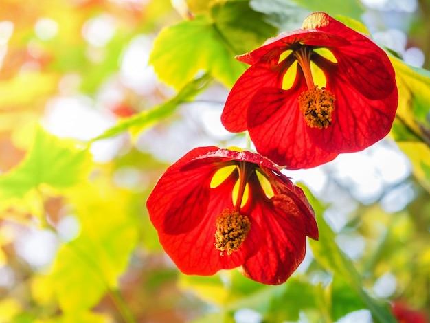 日光の下でメープルの花