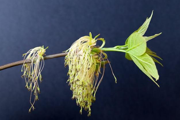 Цветение клена весной в период опыления, используется пчелами для получения меда.