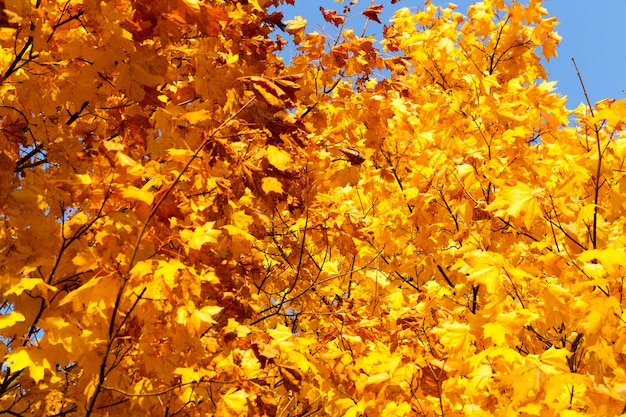 Maple foliage in autumn leaf fall, maple with changing reddening leaf close up, beautiful nature with wild maple tree