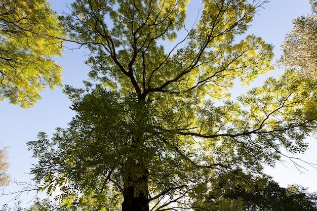 Кленовая листва в осенний сезон во время листопада