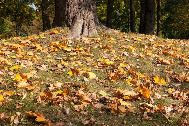 秋のカエデの葉