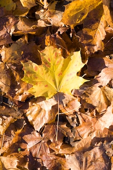 Кленовая листва