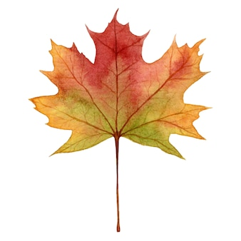 Maple leaf in autumn colors,watercolor hand draw illustration