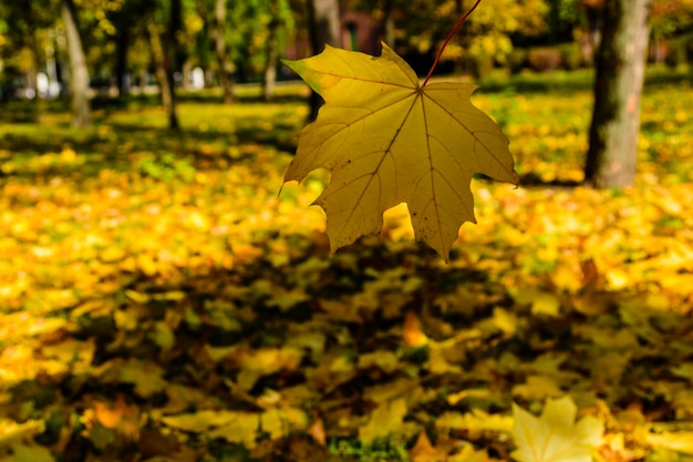 カエデの葉が公園に落ちる。秋のコンセプトは公園に落ちます。秋のコンセプト