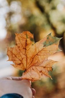男の手のクローズアップでカエデの葉