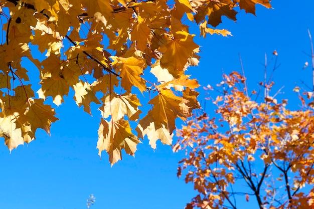 Кленовый лист в осенний сезон