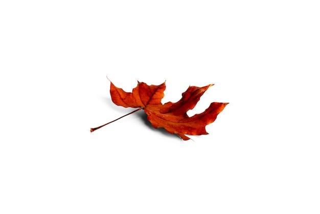 Maple leaf isolated on a white background. high quality photo