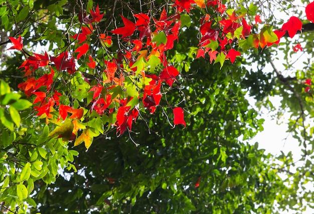 Maple leaf at phukradung national park,thailand