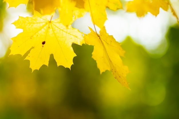 Maple leaves in autumn forest. tree branch with autumn leaves. yellowed maple leaves on a blurred background.