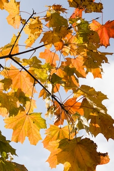 Maple leaves on the branches