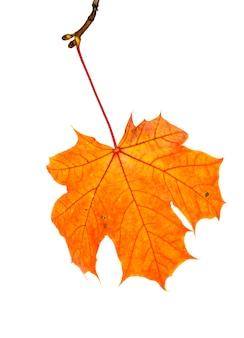 Кленовые листья изменили цвет в осенний сезон
