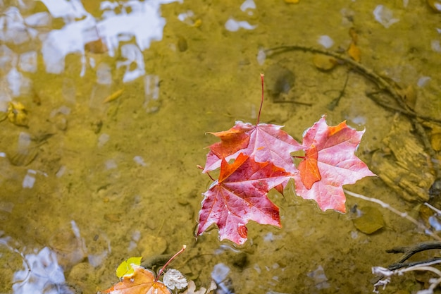Maple leaves floating on the water
