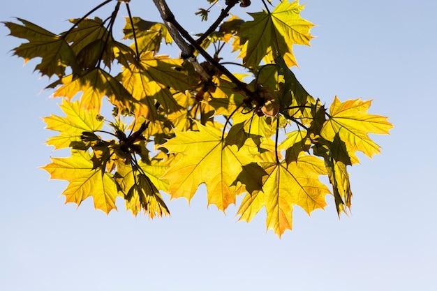 Кленовые листья, освещенные солнечным светом в весеннее время года, настоящая натуральная листва клена