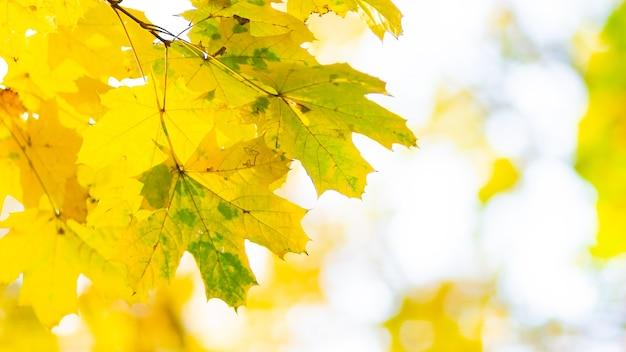 Кленовые листья в осеннем лесу. ветвь дерева с осенними листьями. пожелтевшие кленовые листья на размытом фоне.
