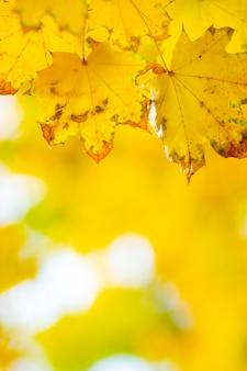 Кленовые листья в осеннем лесу. ветвь дерева с осенними листьями
