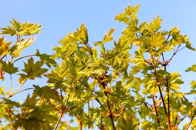 カエデの葉は秋に