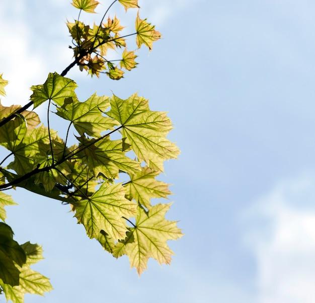 푸른 하늘을 배경으로 봄 아침에 햇빛에 의해 조명 화창한 더운 날씨에 단풍 나무