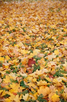 草の上に横たわっている赤黄色と緑の色のカエデの葉