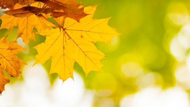 Кленовые листья на размытом фоне. осенний фон с желтыми кленовыми листьями