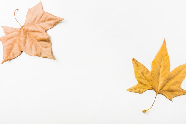Maple leaves scattered in picture corners