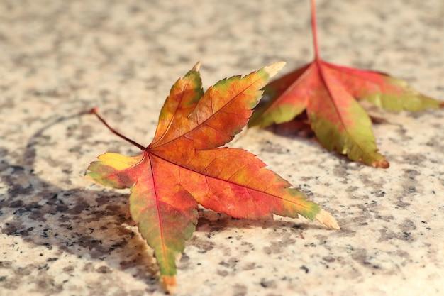 Maple leaves in spring korea