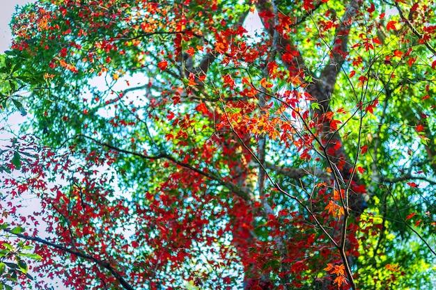 Maple leaves in tropical rainforest landscape foggy weather at phuhinrongkla national park nakhon thai district in phitsanulok, thailand,red maple trees.