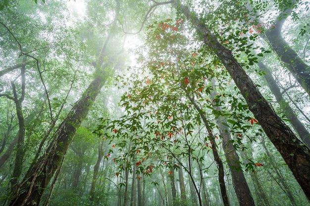 Maple leaves in tropical rainforest landscape foggy weather at phuhinrongkla national park