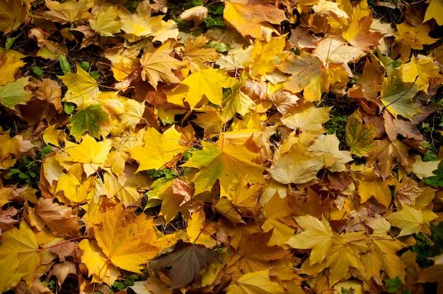 Maple leaves warm autumn sunset tree blurred