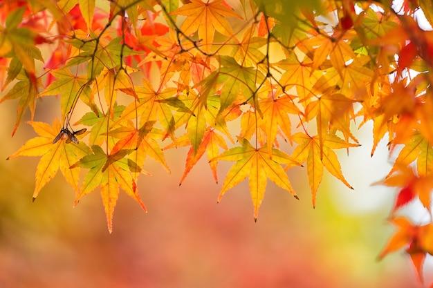 秋のカエデの木。