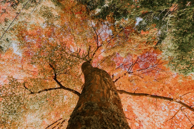 Maple tree in the japanese woods