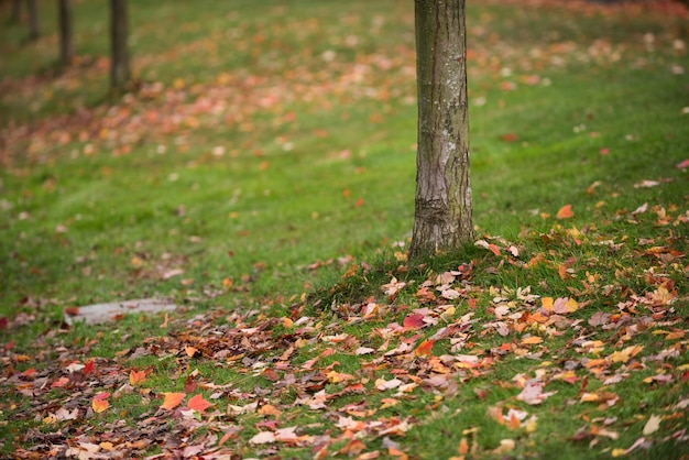Maple tree leaves fallen on grass