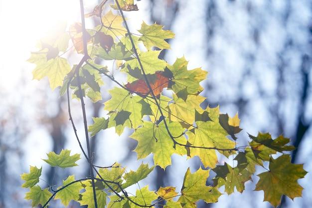 태양에 단풍 나무 잎