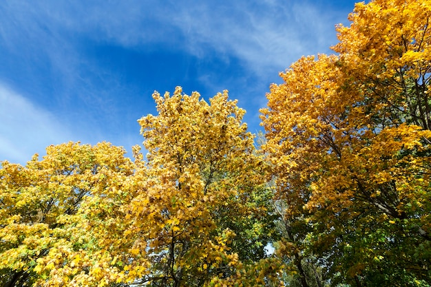Maple trees change color with yellow leaves in autumn season. location in the park. blue sky in the background