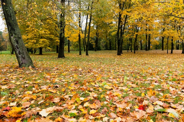 Maple trees change color with yellow leaves in autumn season. location in the park and overcast