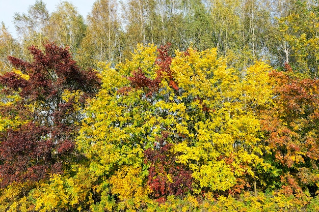 Maple trees change color with yellow leaves in autumn season