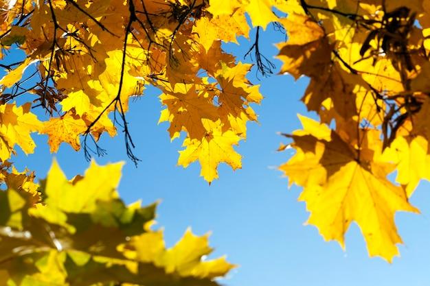 カエデの木は秋の季節に黄色の葉で色が変わります。公園内の場所。背景とバックライトの青い空