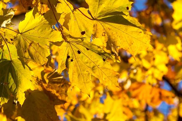 Осенью клены меняют окраску с желтых листьев. расположение в парке