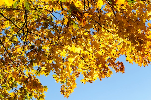 カエデの木は、秋の季節に黄色の葉で色が変わります。公園内の場所。