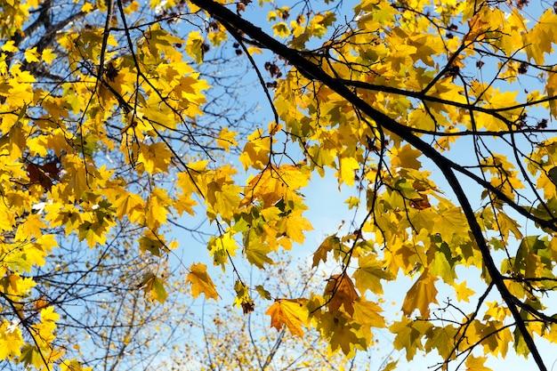 Maple trees in the fall season