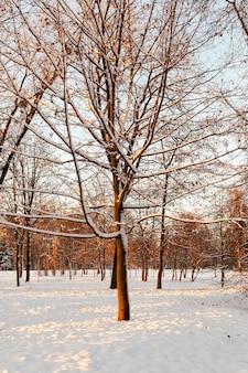 겨울에 자연 속에서 자라는 단풍 나무. 마지막 눈이 내린 후 나뭇 가지와 마지막 주황색 잎이 눈으로 덮여 있습니다.