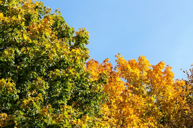 Maple trees growing in the park. photo of the autumn landscape of deciduous trees