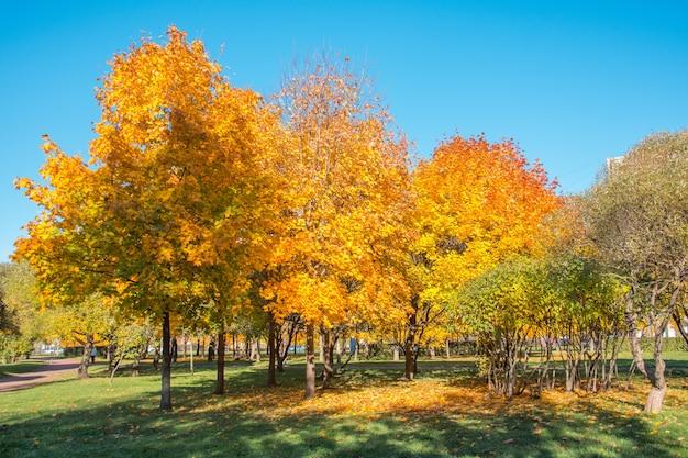 Клены в парке осенью