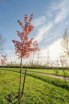 가을 햇살과 푸른 하늘이 있는 공원에 붉은 단풍이 있는 단풍나무. 붉은 단풍의 가지