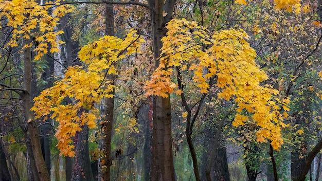 秋の公園で黄色い紅葉のカエデ