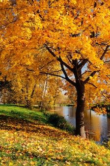 Клен с желтыми листьями. осень в парке с рекой