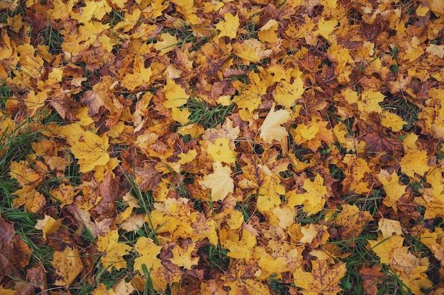 Клен желтый опавшие листья осенью