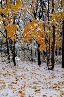 Клены с ярко-желтыми листьями, засыпанными снегом. климат, погода, смена времен года.